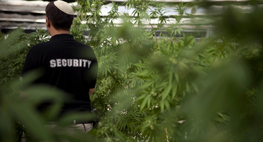 In this photograph made on Thursday, Nov. 1, 2012, a security guard walks at Tikkun Olam medical cannabis farm, near the northern Israeli city of Safed, Israel. Marijuana is illegal in Israel but medical use has been permitted since the early nineties for cancer patients and those with pain-related illnesses such as Parkinson's, Multiple Sclerosis, and even post-traumatic stress disorder.