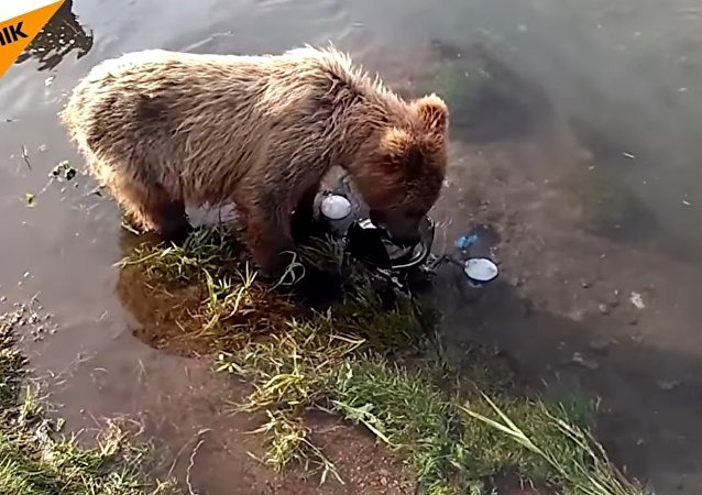 Curious Bear Cubs Play With Underwater Camera