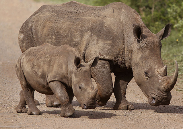In this Sunday, Dec. 20, 2015 file photo, rhinos walk in the Hluhluwe-Imfolozi game reserve in South Africa.