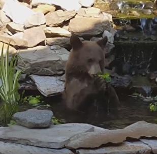 Greedy Grizzly Wanders into Koi Pond