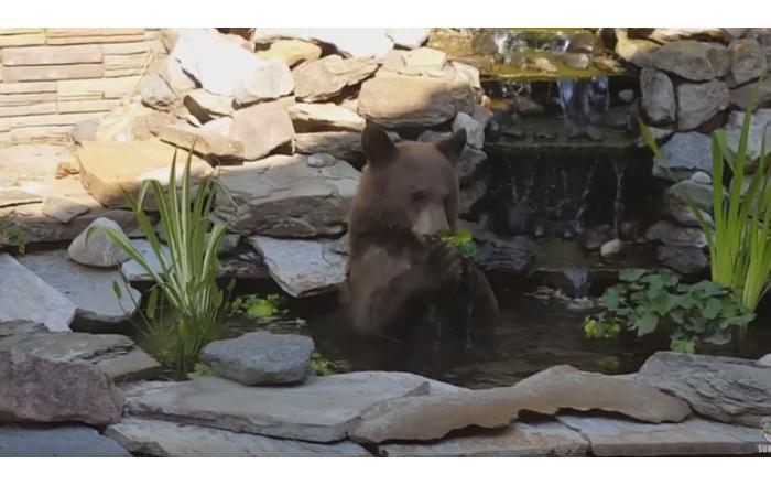 Greedy Grizzly Wanders into Koi Pond