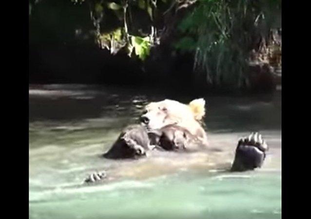 На Камчатке сняли на видео, как косолапый Казанова принимает водные процедуры