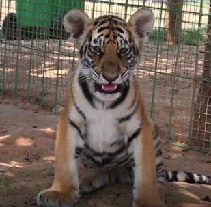 Chinese Breeds Tigers
