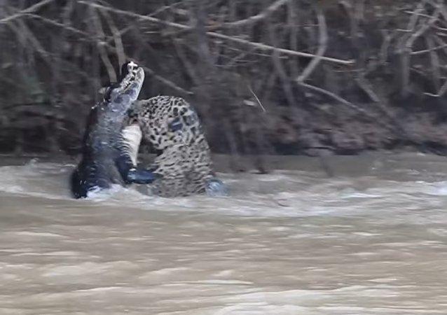 Jaguar Killing a Caiman