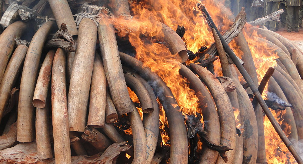 Ivory tusks, seized from poachers, are burned