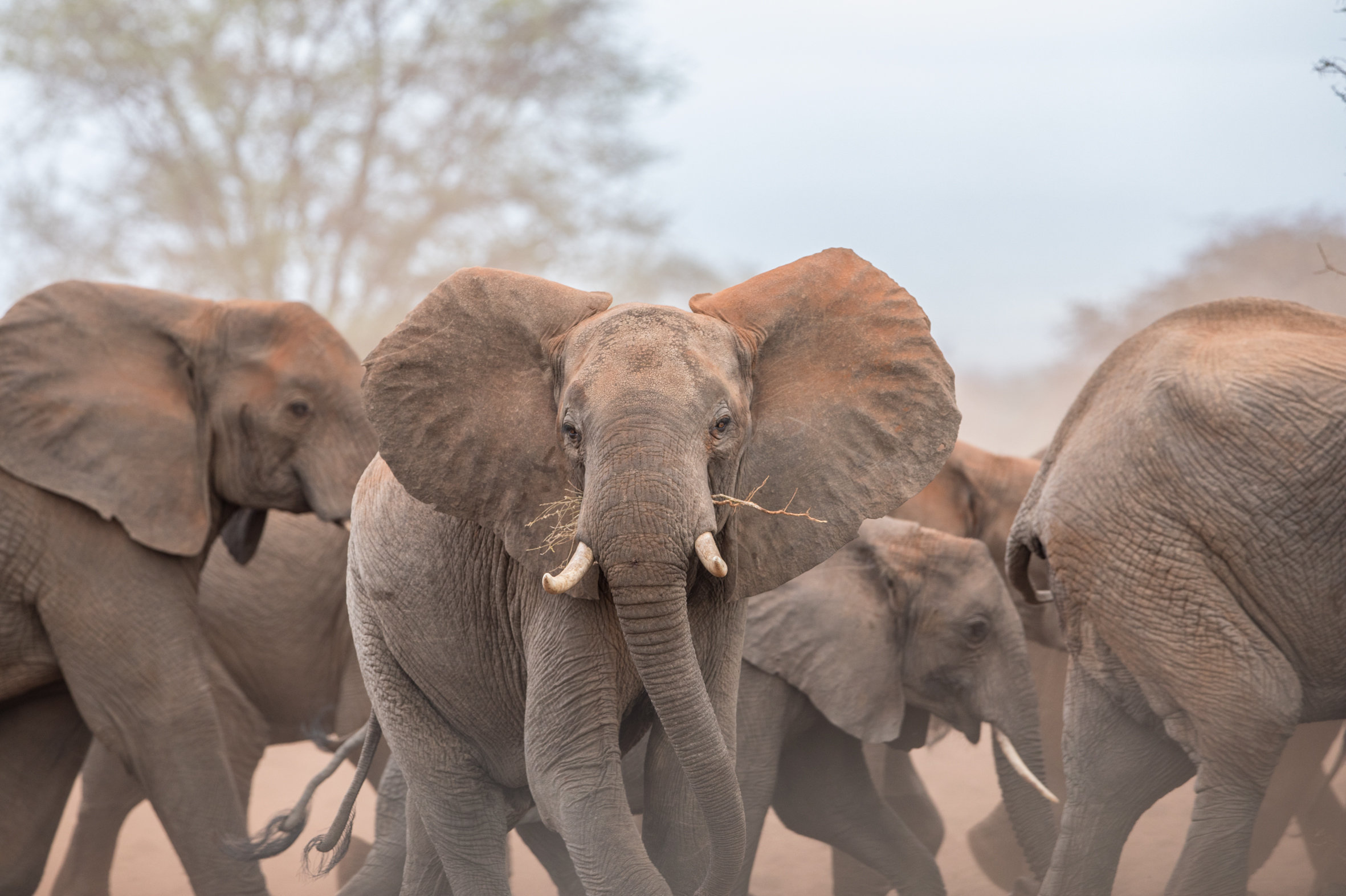 Around 20,000 African elephants are killed by poachers each year