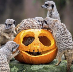 Not So Creepy Halloween: How Animals Deal With Pumpkins