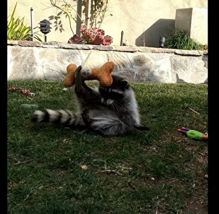 Friendly Raccoon Plays in Backyard