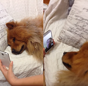 Long Distance: Chow Chow Cries Over FaceTime