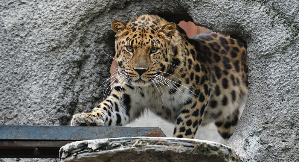 An Amur Leopard at the Moscow Zoo