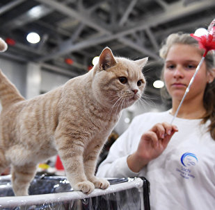 Sphynxes, Maine Coons, Scottish Folds: International Cat Show in Moscow