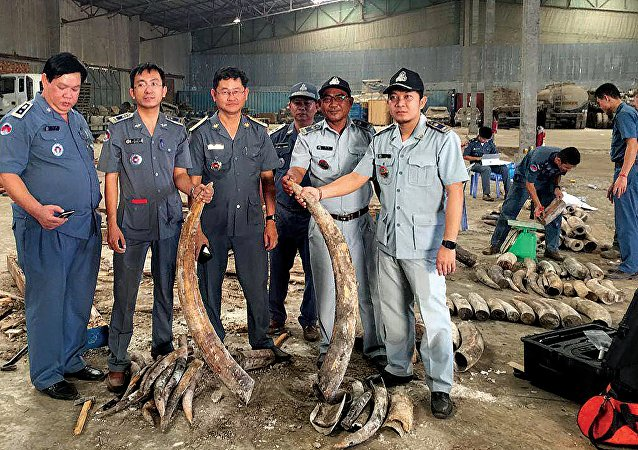 Cambodian authorities holding pieces of ivory after a shipment was seized in Preah Sihanouk province