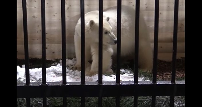 Polar Bear Lives at the St. Petersburg Zoo