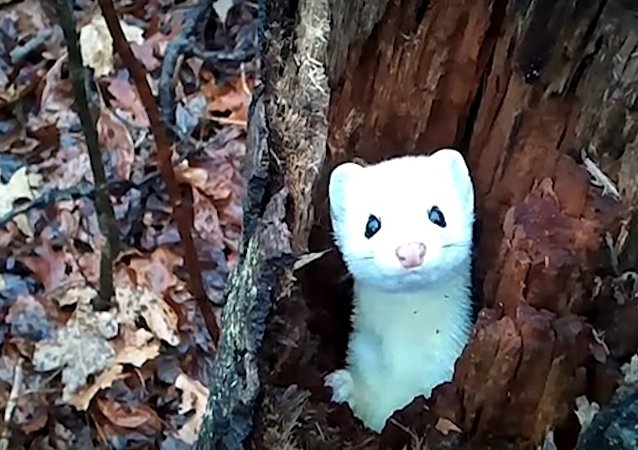 Rare Michigan Ermine Pops out of Tree