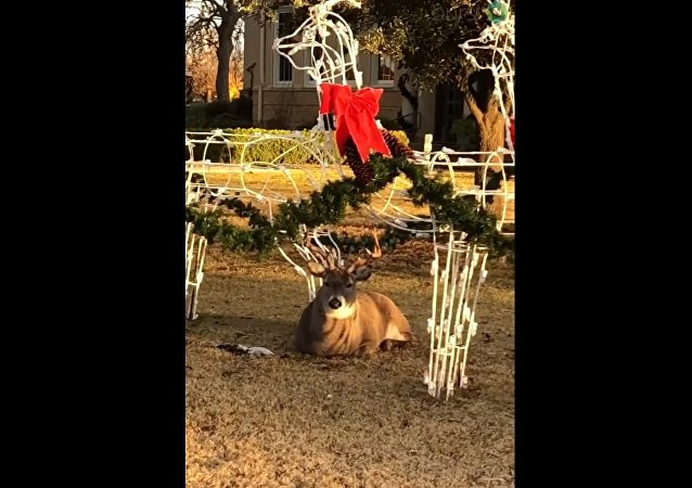 Buck Willing to Become Santa Claus's Reindeer