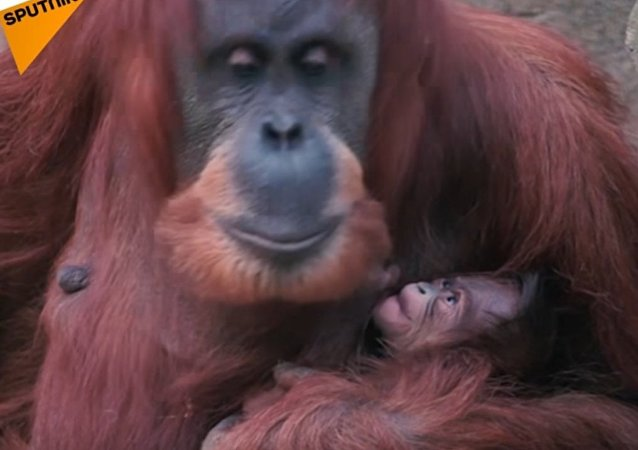 Orangutan Poses With Her Baby