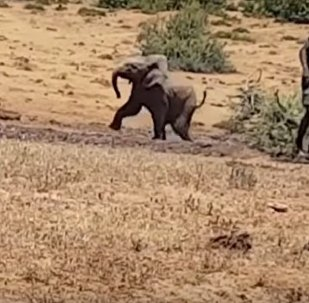 Young Pachyderm in South Africa Fell Into a Muddy Pit