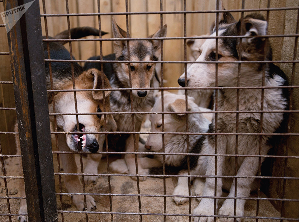 Dogs housed in the cage of the temporary animal shelter located at EMUP Spetsavtobaza. (File)