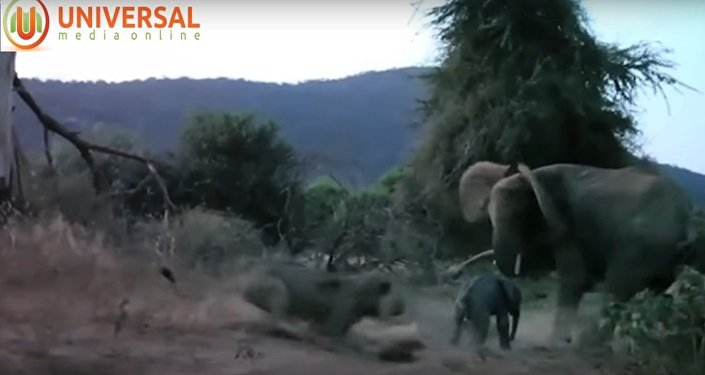 Elephant charges at lion and sends it fleeing