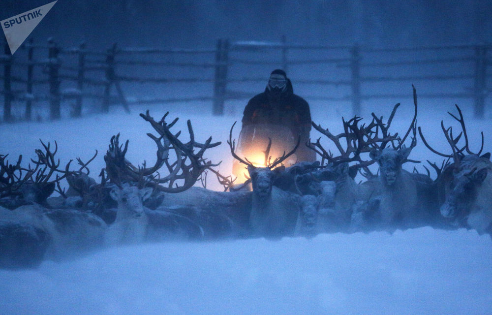 Top 12 Amazing Facts You Probably Didn't Know About Reindeer