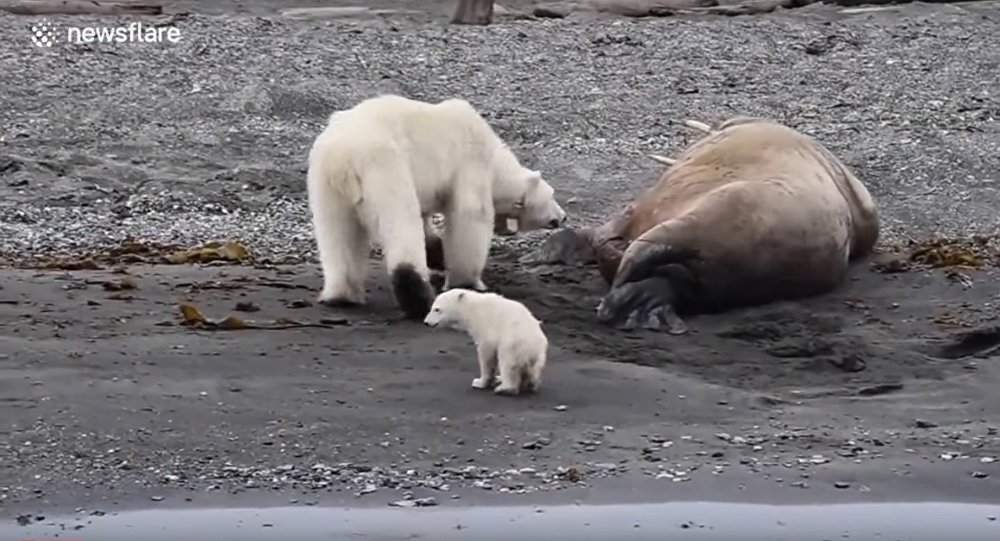 Polar bear with cub flees after waking up sleeping walrus