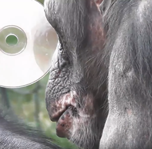'Mirror, Mirror': Conscious Chimpanzee Gets Versed in Vanity