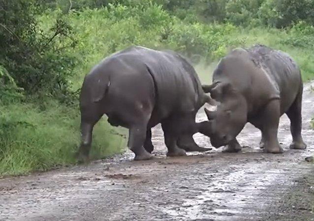 Savage rhinoceros fight caught on camera