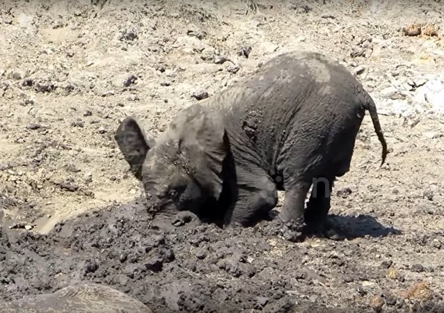 Too cute! Baby elephant just loves the mud