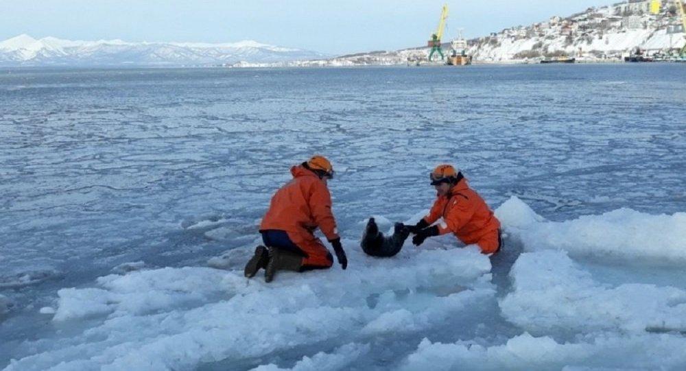 Seal rescue operation in Petropavlovsk-Kamchatsky
