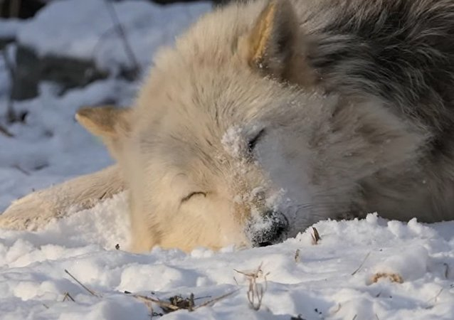 Alawa the Wolf Takes a Snow Bath