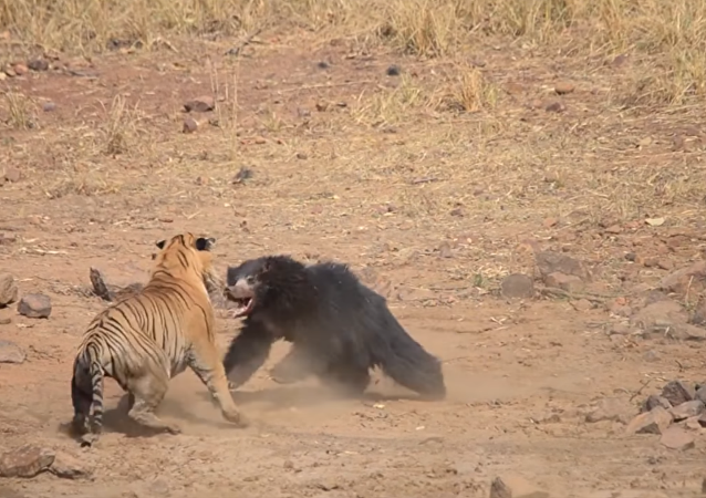 Tiger and Sloth Bear caught fighting at Maharashtra's Tadoba National Park
