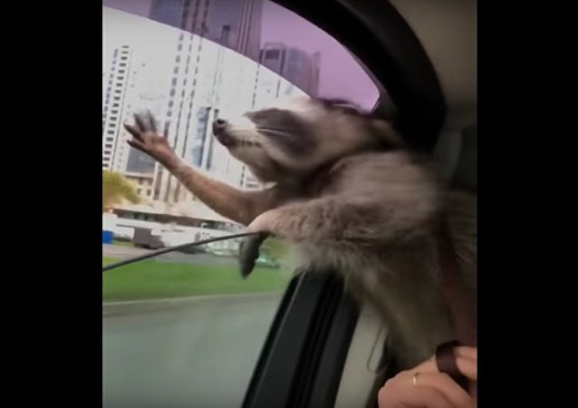 Raccoon Catching Wind || ViralHog