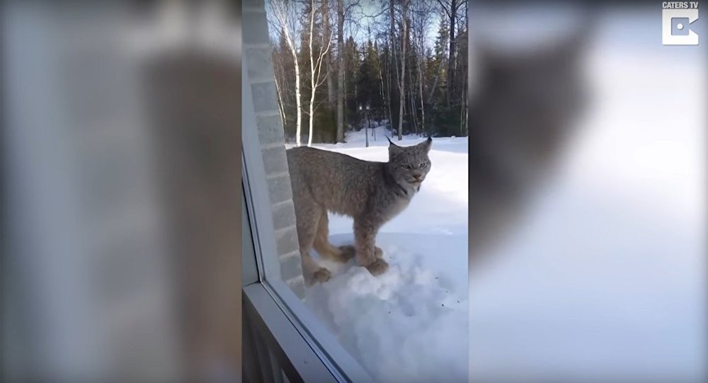 Lynx Found Up-Close Outside Homeowner's Bedroom