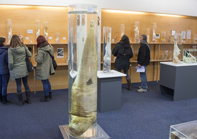 Visitors watch the exhibition on October 27, 2016 at the Icelandic Phallological Museum in Reykjavik