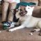 The Sweet Spot: Siberian Huskies Duke it Out Under Owner's Legs