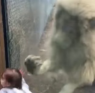 Lion Tries to 'Play' With Baby Visitor at the Zoo