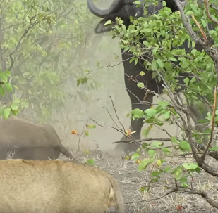 Paws Off! Buffalo Mom Chases Away 14 Lions to Mourn Calf
