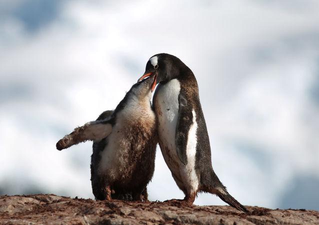 Antarctica: Penguins Really Dig it