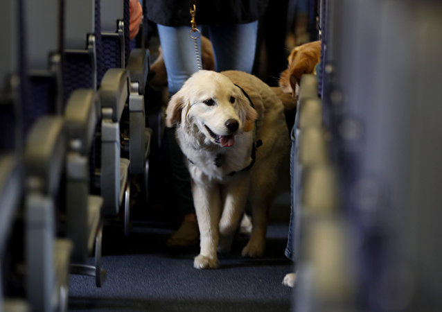 In this April 1, 2017 file photo, a service dog strolls through the isle inside a United Airlines plane at Newark Liberty International Airport while taking part in a training exercise, in Newark, N.J