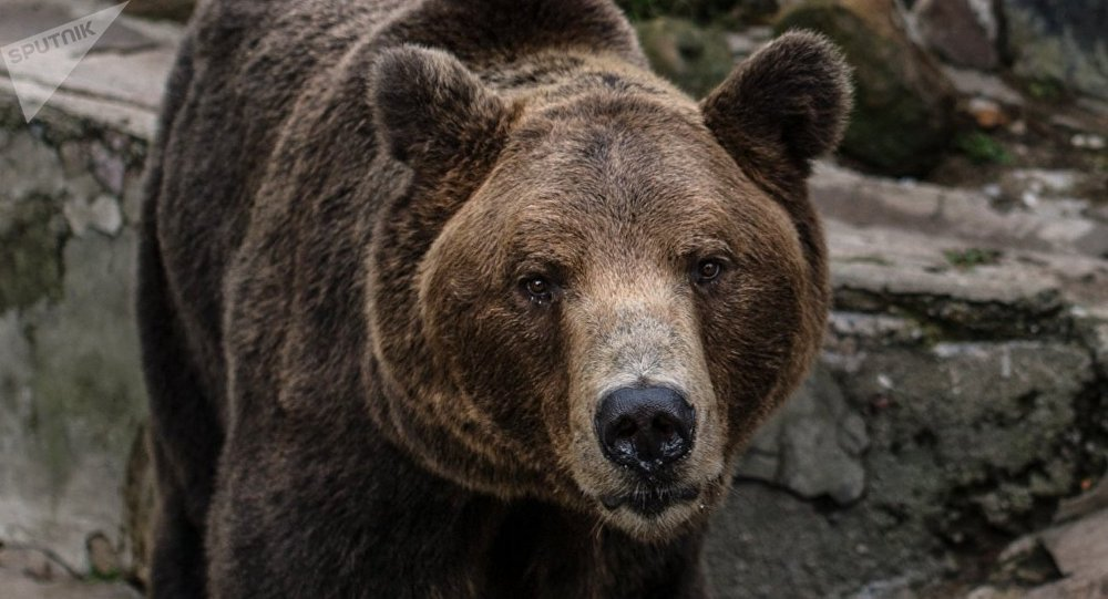 A brown bear (File)