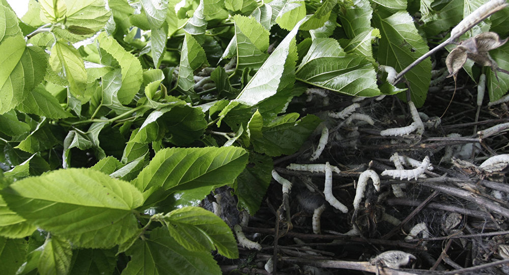 silkworms crawl on a pile of mulberry twigs
