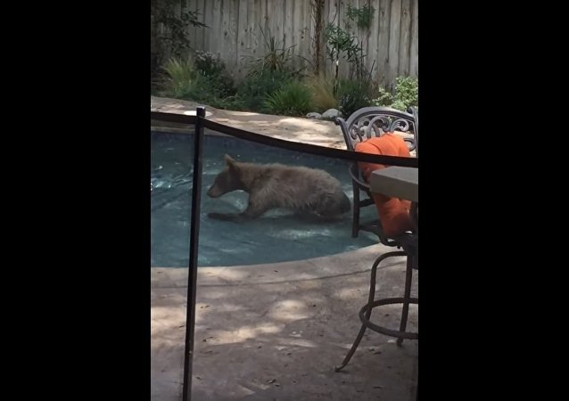 Bear Lounges in Swimming Pool || ViralHog