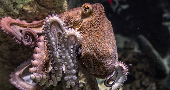 About 1,000 brooding octopuses found off California coast