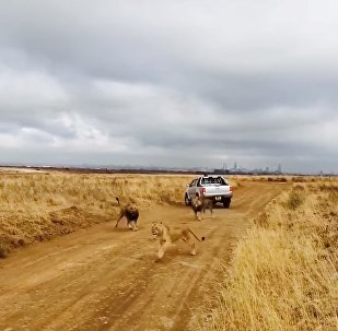 Male lions find a pride trespassing their territory