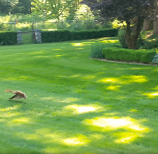 Prey of the Day: Rabbit's Freedom From Cat Revoked by Ravenous Owl