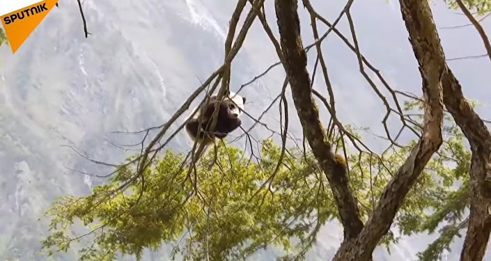 A giant panda cub was in the Wolong Nature Reserve in China