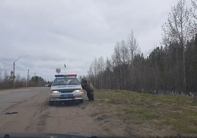 'Got Any Snacks?': Curious Russian Bear Creeps up on Highway Patrol