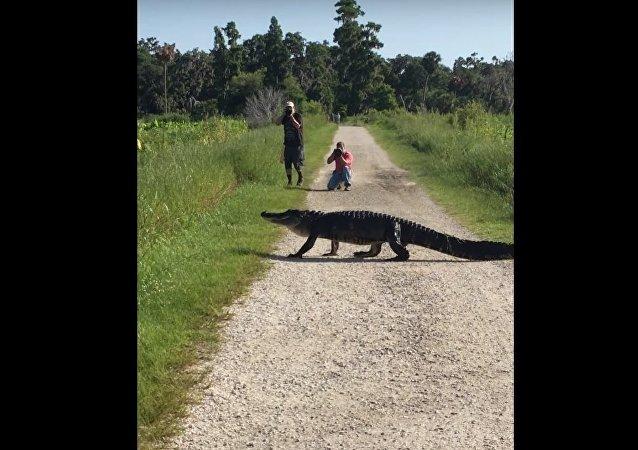 Alligator Walks Across Path || ViralHog