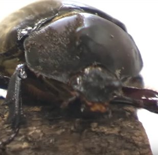Hermaphrodite Beetle Discovered