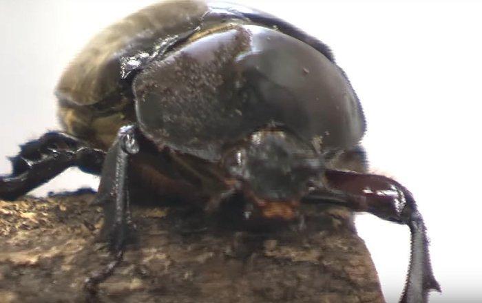 Hermaphrodite Beetle Discovered